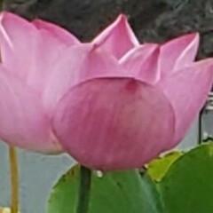 蓮の花/フォロー大歓迎/ガーデニング/花 今日も素敵な一日になりますように(♥Ü♥…(2枚目)