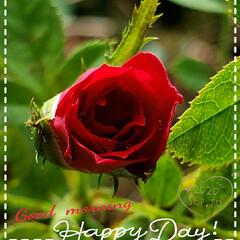 バラ/鉢植え/薔薇/元気の源/癒しの場所/癒しの空間/... 今日も素敵な一日になりますように(♥Ü♥…