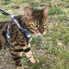 bengalcat 男前Benの散歩💕 リーシュにだいぶ慣れ…