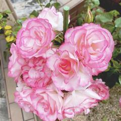 ガーデニング 育ててきた薔薇が咲きました🌹