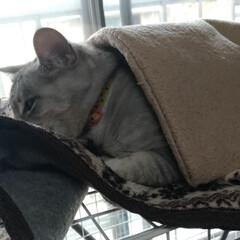 猫/お昼寝/可愛い/多頭飼う/にゃんこ同好会/掛け布団/... 昨日のサクラちゃん😸  器用に ケージ上…(3枚目)