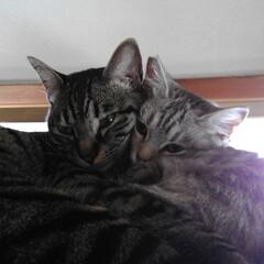 ラブラブ/保護猫出身/猫家族/ニャンコ同好会/暮らし めったに見れないけど ふと見たら テンと…