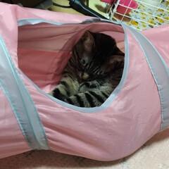 年末/ニャンコ同好会/茶トラシロ/キジトラ/寝る/トンネル/... トンネルで 寝るテン😸  今日は、押入の…(2枚目)