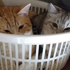 ねこ/可愛い/保護猫/茶トラ白/サバトラ/キジトラ/... 棚の上の特等席でのテンちゃんを パートナ…(2枚目)