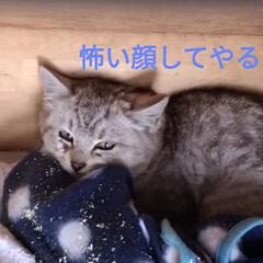 簡易ケージ/にゃんこ同好会/子猫/野良猫/サバトラ/保護猫 今日の 保護猫ちゃん😸 ちょい噛みそうに…
