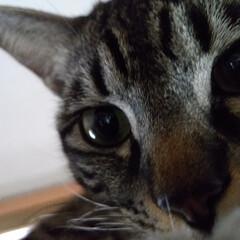 ねこ/可愛い/保護猫/茶トラ白/サバトラ/キジトラ/... 棚の上の特等席でのテンちゃんを パートナ…