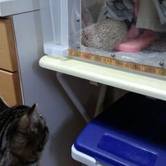 ハリネズミ/ペット/猫/100均/ダイソー 昨夜 珍しくハリネズミのポッポが出てきた…