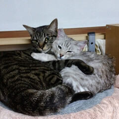ラブラブ/保護猫/サバトラ/キジトラ/ピンク/暮らし/... テンちゃんとサクラ☺️ 寒かったのか狭い…