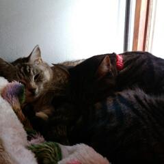 お昼寝/ニャンコ同好会/猫のいる暮らし/保護猫出身/サバトラ/キジトラ 仲良く寝んねが 増えてきました😸(2枚目)