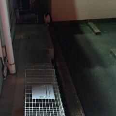 TNR/猫/やっと/夜な夜な/暴れん坊/疲れた/... 久々の捕獲猫活動 あー 疲れたー(´Д`…(4枚目)
