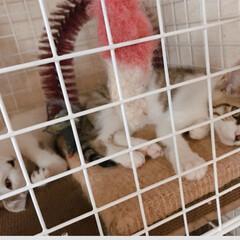小さな命/野良猫/里親/令和の一枚/LIMIAペット同好会/にゃんこ同好会 先月保護した子猫三匹のうちの二匹 6月末…
