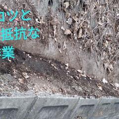作業/ブレードソー/コブ/国道/葛の蔓/住まい/...  近所の国道脇の大量クズのつるから 新芽…(3枚目)