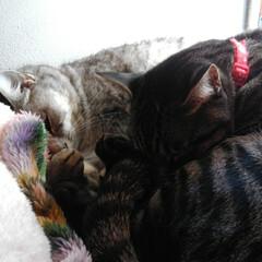 お昼寝/ニャンコ同好会/猫のいる暮らし/保護猫出身/サバトラ/キジトラ 仲良く寝んねが 増えてきました😸