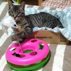 おもちゃ/保護猫/キジトラ/LIMIAペット同好会/ペット/猫/...