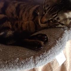 ねこ/可愛い/保護猫/茶トラ白/サバトラ/キジトラ/... 棚の上の特等席でのテンちゃんを パートナ…(3枚目)