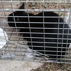 捕獲保護猫/野犬/一年/やっと/病院/避妊手術/... 朝早くから叩き起こされ 捕獲保護猫  ク…