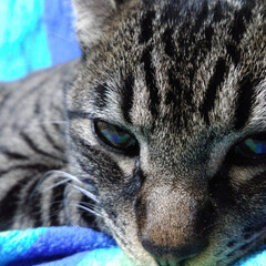 猫/可愛い/おねむ/キジトラ/LIMIAペット同好会/にゃんこ同好会/... テンちゃん 今月か来月には一歳になるくら…