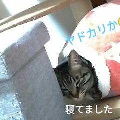 寝起き/キジトラ/眩しい/猫との暮らし/ニャンコ同好会/朝/... 昨夜 3時頃まで腰を冷やしたりしながらテ…(2枚目)