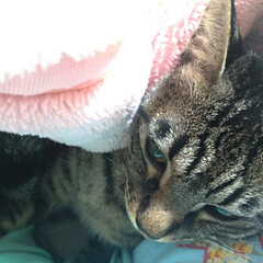 猫/甘えん坊/猫との暮らし/ニャンコ同好会 マルが 里親さんにの所に行ってから テン…(1枚目)