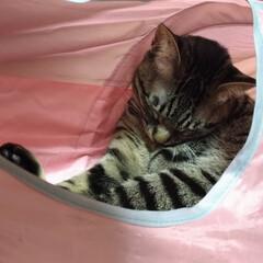 年末/ニャンコ同好会/茶トラシロ/キジトラ/寝る/トンネル/... トンネルで 寝るテン😸  今日は、押入の…