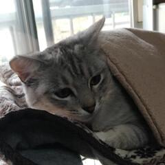 猫/お昼寝/可愛い/多頭飼う/にゃんこ同好会/掛け布団/... 昨日のサクラちゃん😸  器用に ケージ上…