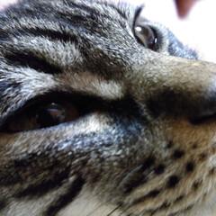キジトラ/LIMIAペット同好会/ペット/猫/にゃんこ同好会/うちの子ベストショット 寝起きドアップ😼💤