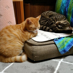 にゃんこ同好会/ペット/保護猫/うたた寝/茶トラ白/キジトラ 束の間の寄り添い😸  テンと一緒に寝たい…