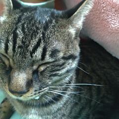 猫/甘えん坊/猫との暮らし/ニャンコ同好会 マルが 里親さんにの所に行ってから テン…(2枚目)