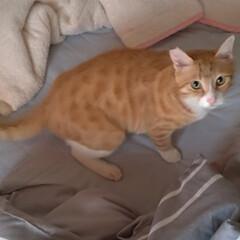 猫との暮らし/転がる姿/ゴロンゴロン/布団/変態猫/茶トラ白/... 変態ビビり猫マル😼  人の寝起きや 座っ…
