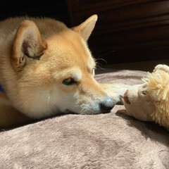 柴犬 一緒にゴロゴロしてたい(o^^o)(9枚目)