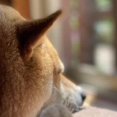 柴犬 一緒にゴロゴロしてたい(o^^o)(3枚目)