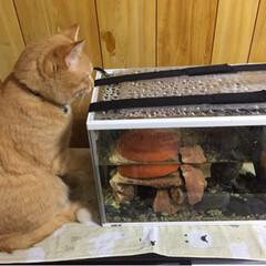 猫/亀 亀さんたちといつか遊びたい(>_<)