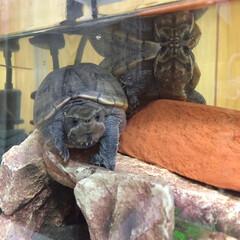 亀/ミシシッピニオイガメ 仲良し亀さんたち🐢 よく同じ動きをしてお…