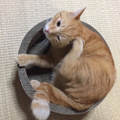 猫 新調した爪研ぎでくつろぐキミタンです😻(1枚目)