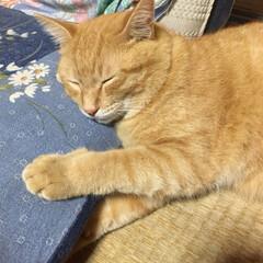 猫 おばあちゃんの座布団を枕に、スヤスヤとお…