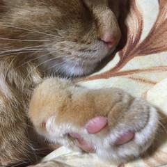 猫/肉球 ごめんね。爆睡中に爪を切らせてもらったよ。