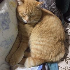 猫 おばあちゃんの座るコタツの場所が特等席。…
