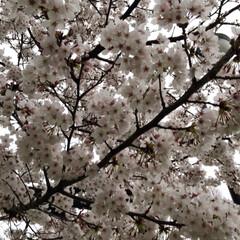 1歳5ヵ月/桜/近所の公園 お天気が悪くて残念… でも桜は綺麗に咲い…(2枚目)