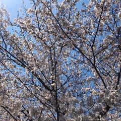 赤ちゃん/桜/春の一枚 桜🌸🌸綺麗でした‼️  昨日 実家の近く…