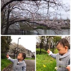 1歳5ヵ月/桜/近所の公園 お天気が悪くて残念… でも桜は綺麗に咲い…