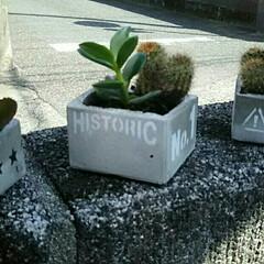 多肉植物/セメント鉢/インテリア/雑貨/ハンドメイド 浅すぎたセメント鉢に、ばあちゃんの植物を…