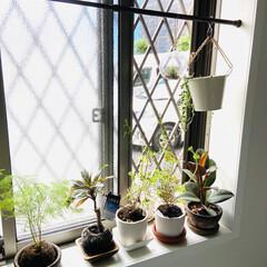 観葉植物 天気が悪いので外には出してやれず窓際で我…