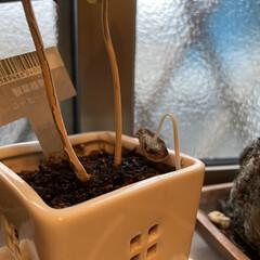 観葉植物/キノコ キノコさんは一晩だけ楽しませてくれました。