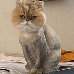 ネコ/チンチラゴールデン サマーカットにしてきました。