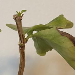 コーヒーの木/観葉植物 諦めかけてたけど辛抱強くお水あげてたら、…