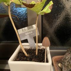 キノコ/観葉植物 観葉植物の脇に突然生えてきたキノコ。何コ…