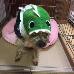 恐竜/ブカブカ/帽子/犬/ペット せっかく買った恐竜の帽子 頭が小さすぎて…