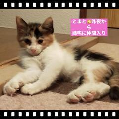 子猫/猫/ペットとのある暮らし 姉宅へ新入り 雌の三毛猫 🐱「とまと」🐱…(1枚目)