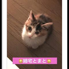 子猫/猫の居る暮らし 姉宅とまと🐱 小さくてかわいい😍❤️💕 …(1枚目)