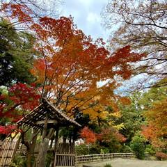 紅葉/公園 横浜公園の紅葉が綺麗です🍁 日に日に色づ…